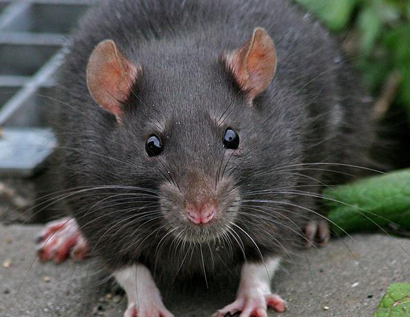 крыса фото черная