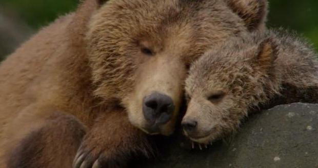 Сонник медведь к чему снится убегать от